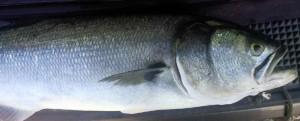 BluefishVC091513