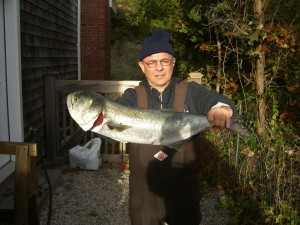 Gangster bluefish like this one for Felix came home and graced our dinner table along with keeper stripers