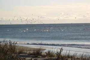 Gannets dive bombing at frigid Hither Hills as the 2009 surfcasting season winds down to an end